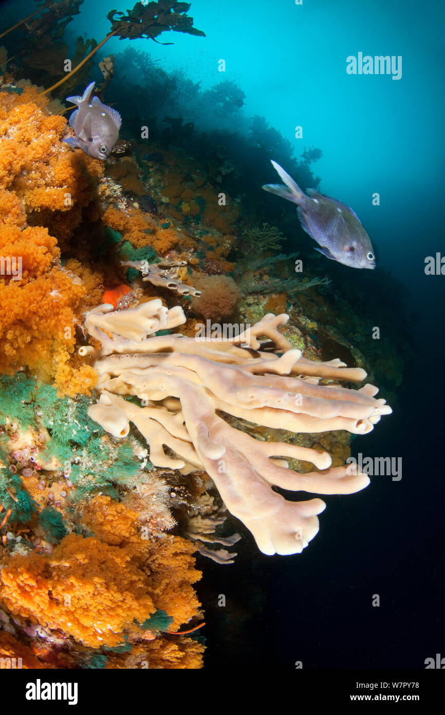 Wall with sponge and bryozoan growth and New Zealand Demoiselles (Chromis dispilus) Poor Knights Islands, New Zealand, January Stock Photo