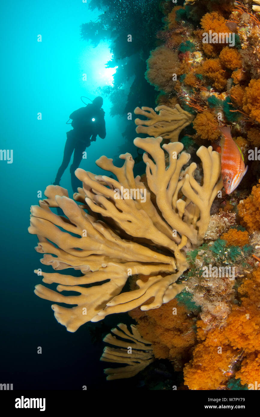 Diver swimming to sponges and bryozoan growth on reef wall, Poor Knights Islands, New Zealand, January 2013, Model released. Stock Photo
