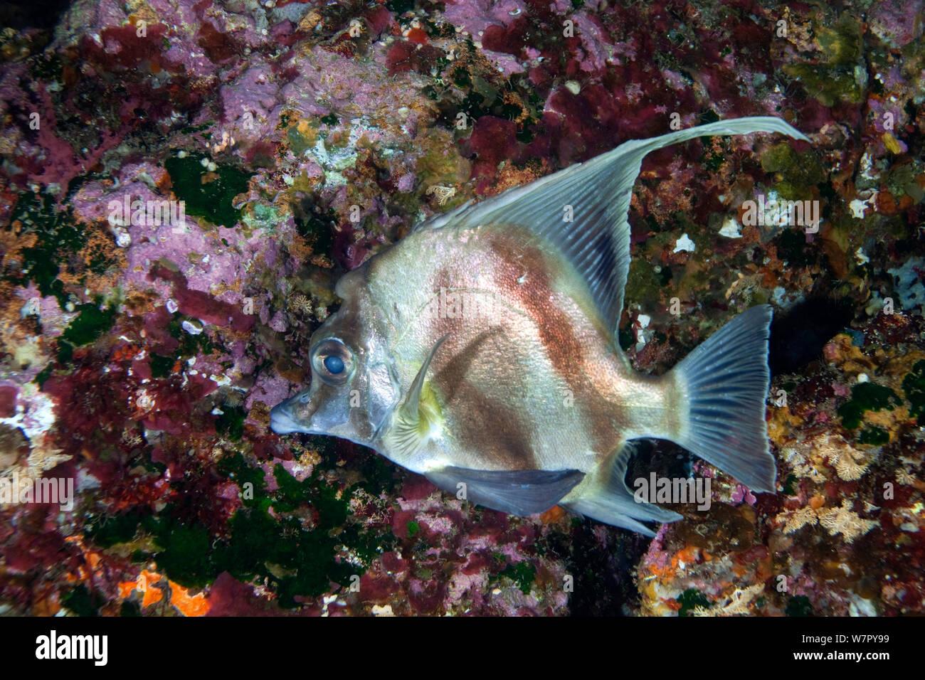 Long-finned Boarfish (Zanclistius elevatus) Poor Knights Islands, New Zealand, February Stock Photo