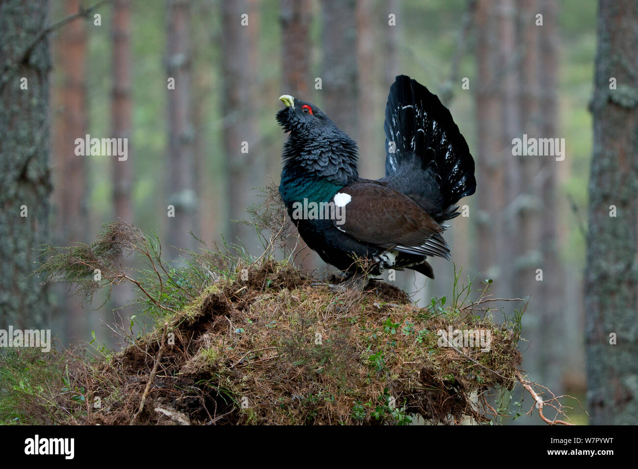 Capercaillie (Tetrao urogallus) male displaying at lek. Scotland, UK, February. Stock Photo