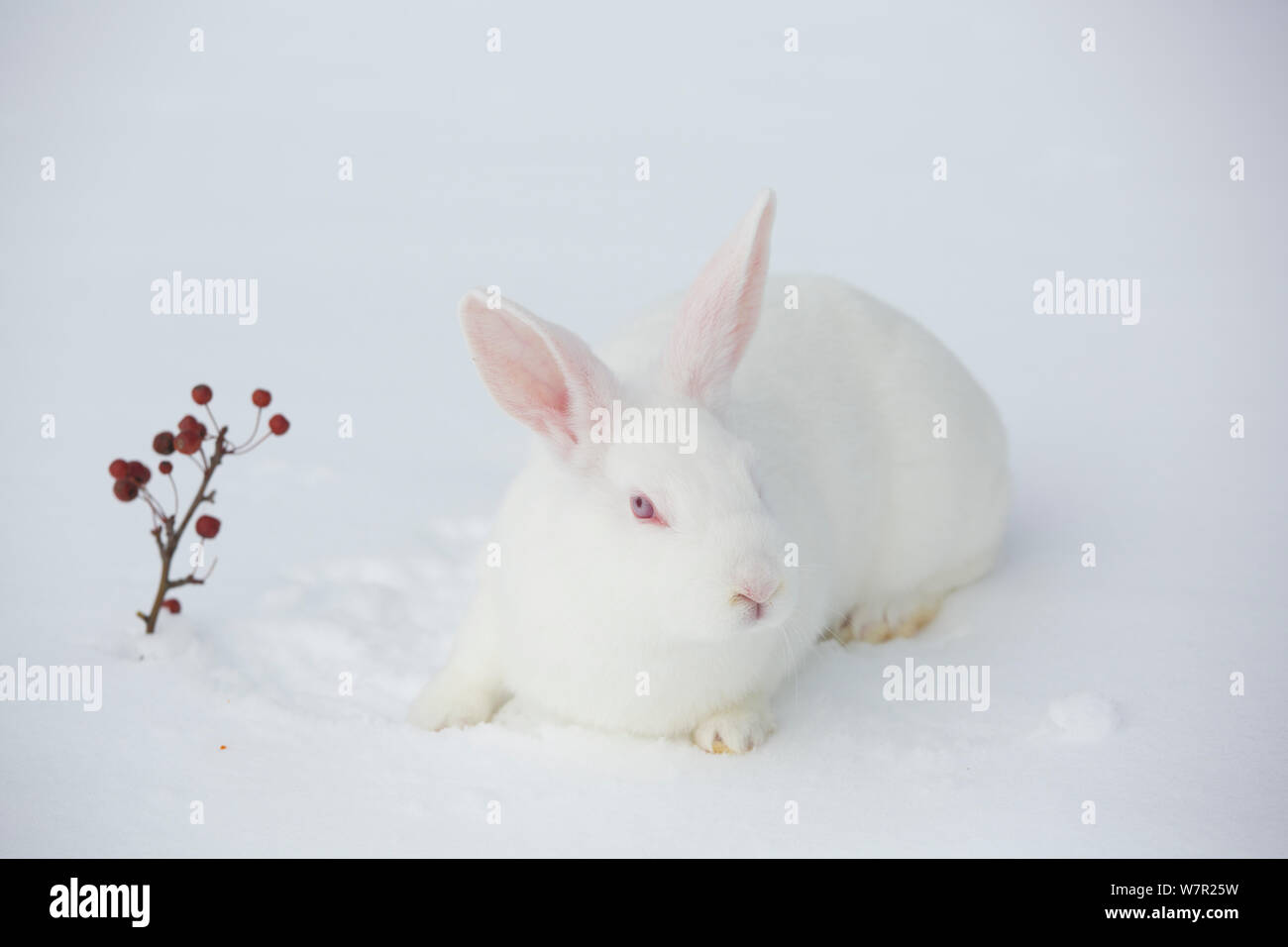 New Zealand Breed White Rabbit In Snow Union Illinois Usa