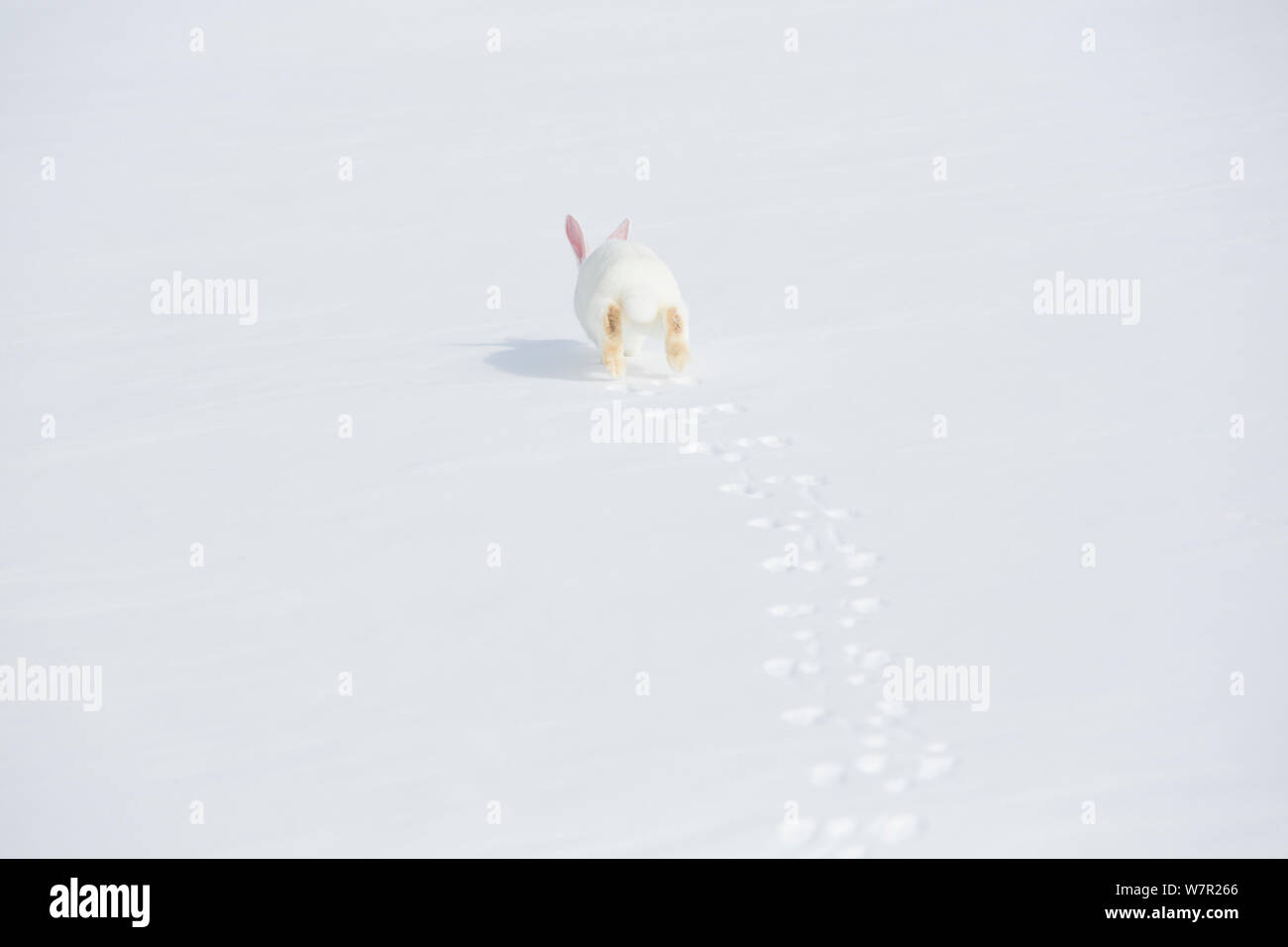 New Zealand Breed White Rabbit Running In Snow Union