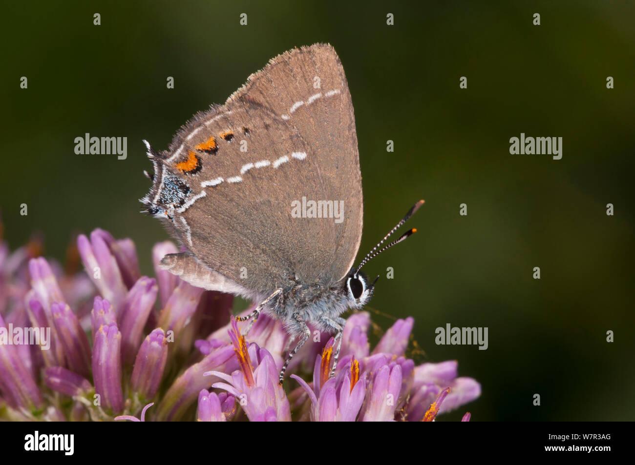 Blue-spot hairstreak butterfly (Satyrium spini) feeding, Campo Imperatore, Gran Sasso, Appennines, Abruzzo, Italy Stock Photo