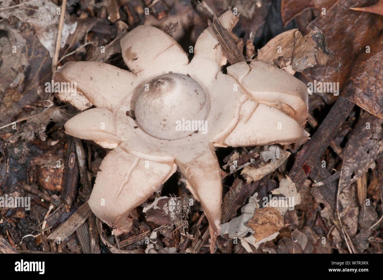 Geastraceae Stock Photos & Geastraceae Stock Images - Alamy