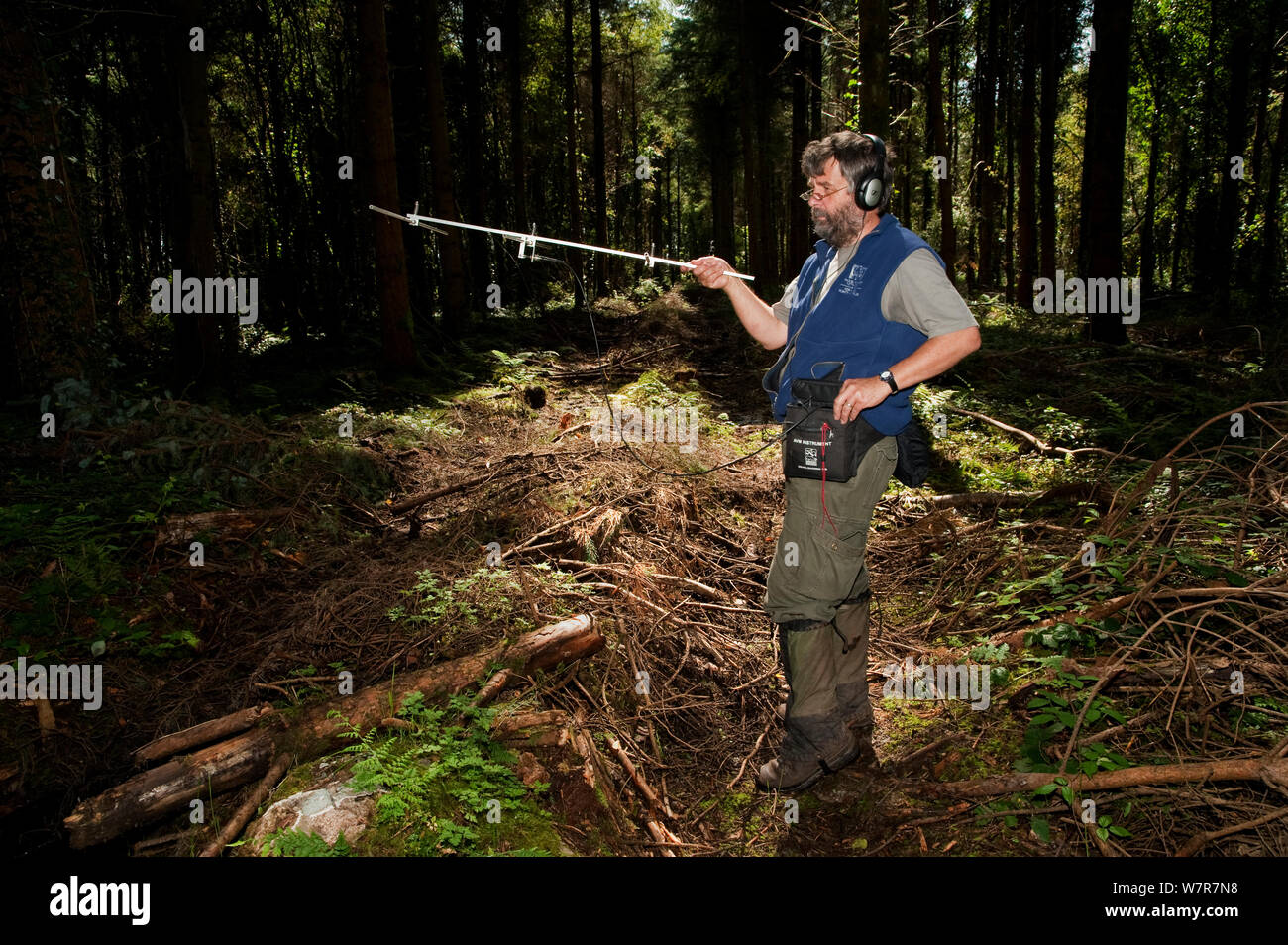 Pete Turner radio tracking Pine Martens (Martes martes) Pine marten research by the Waterford Institute of Technology, Ireland, August 2008 Stock Photo