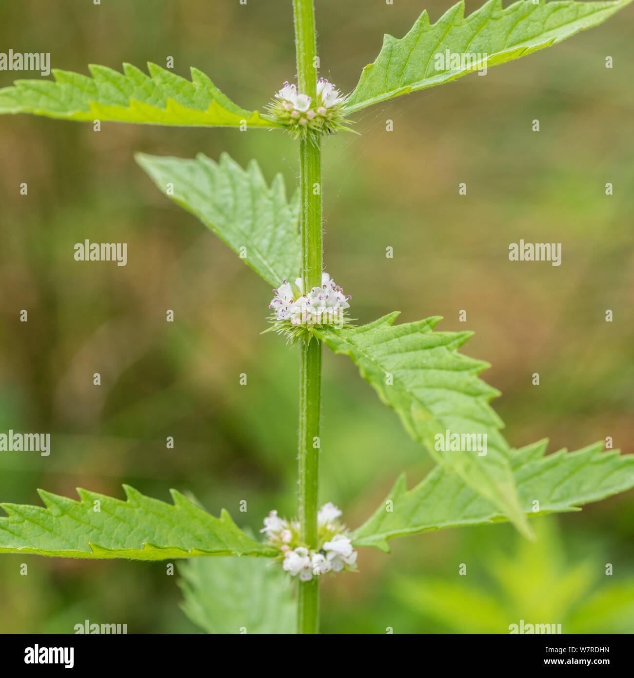 Flowering stalks of Gipsywort / Gypsywort - Lycopus europaeus - at pond edge. Once used as medicinal plant in herbal remedies. Hygrophilous plants. Stock Photo
