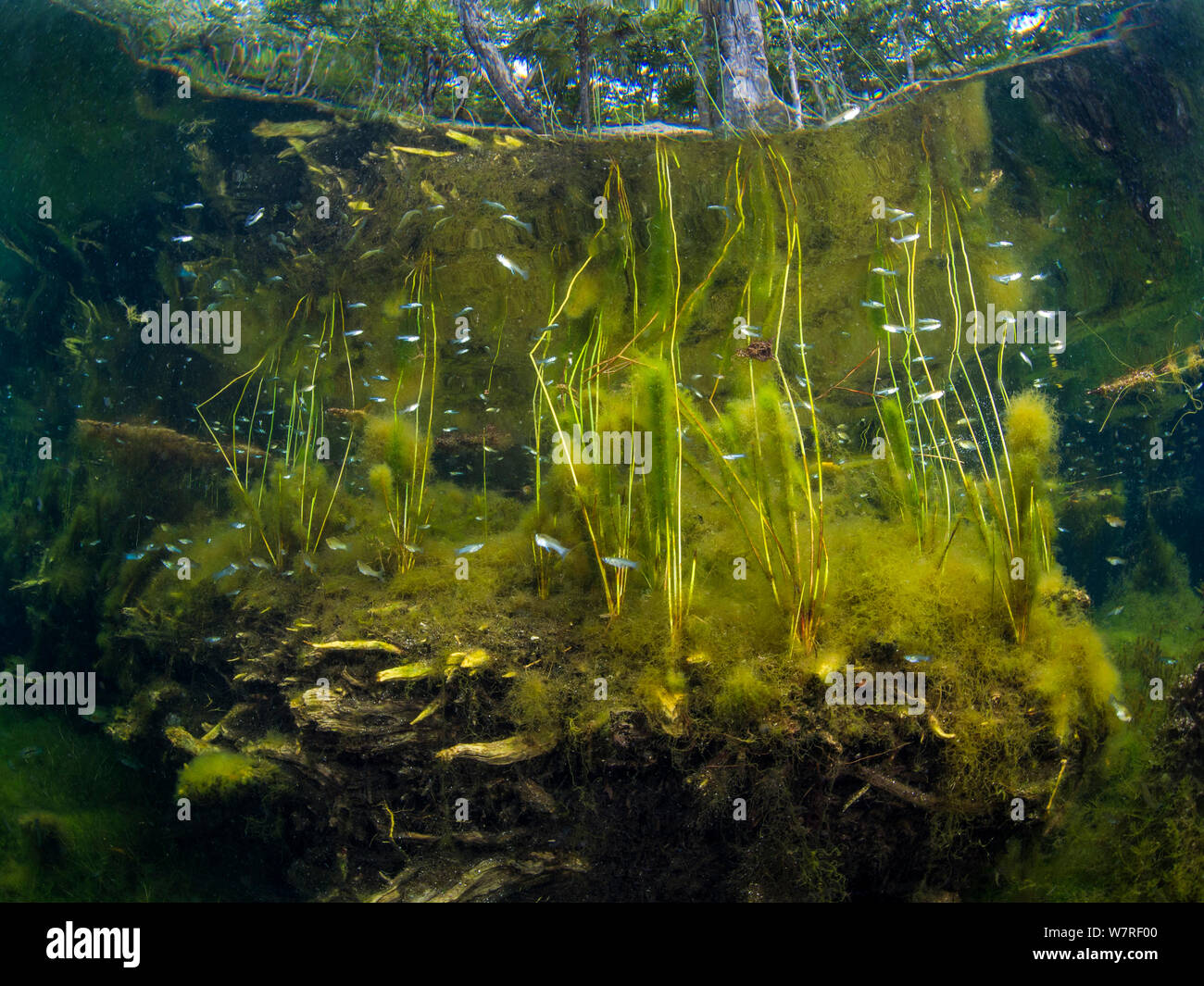 Fish (Poecilia) swimming through plants in a typical scene from a freshwater cenote or sinkhole. Cancun, Yucatan, Mexico. Stock Photo