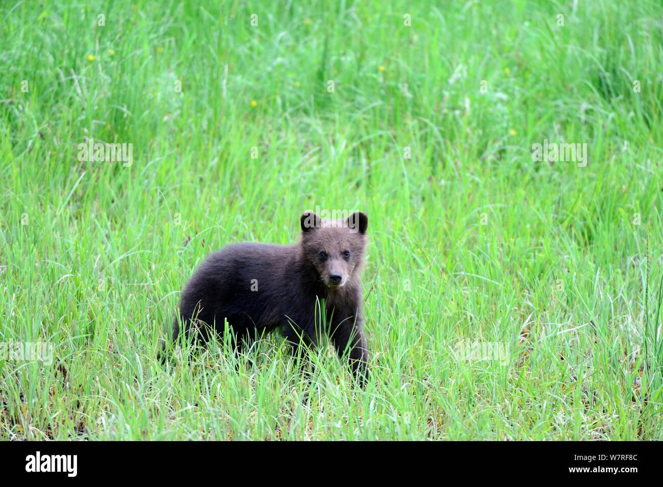 Grizzly bear spring cub (Ursus arctos horribilis) Khutzeymateen Grizzly Bear Sanctuary, British Columbia, Canada, June. Stock Photo