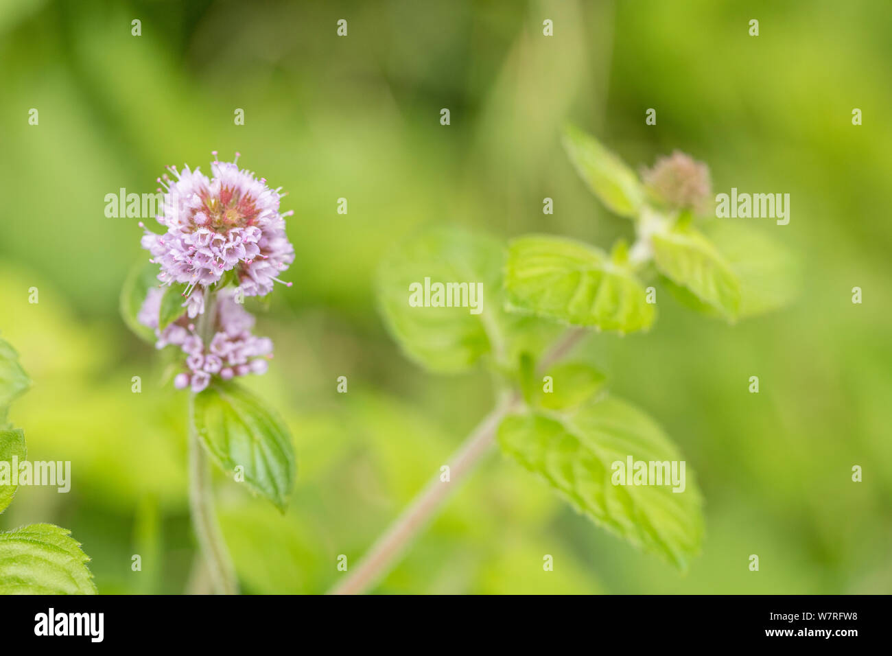 Flowers of Water Mint / Mentha aquatica growing in a wet meadow. Hygrophilous plants concept. Stock Photo
