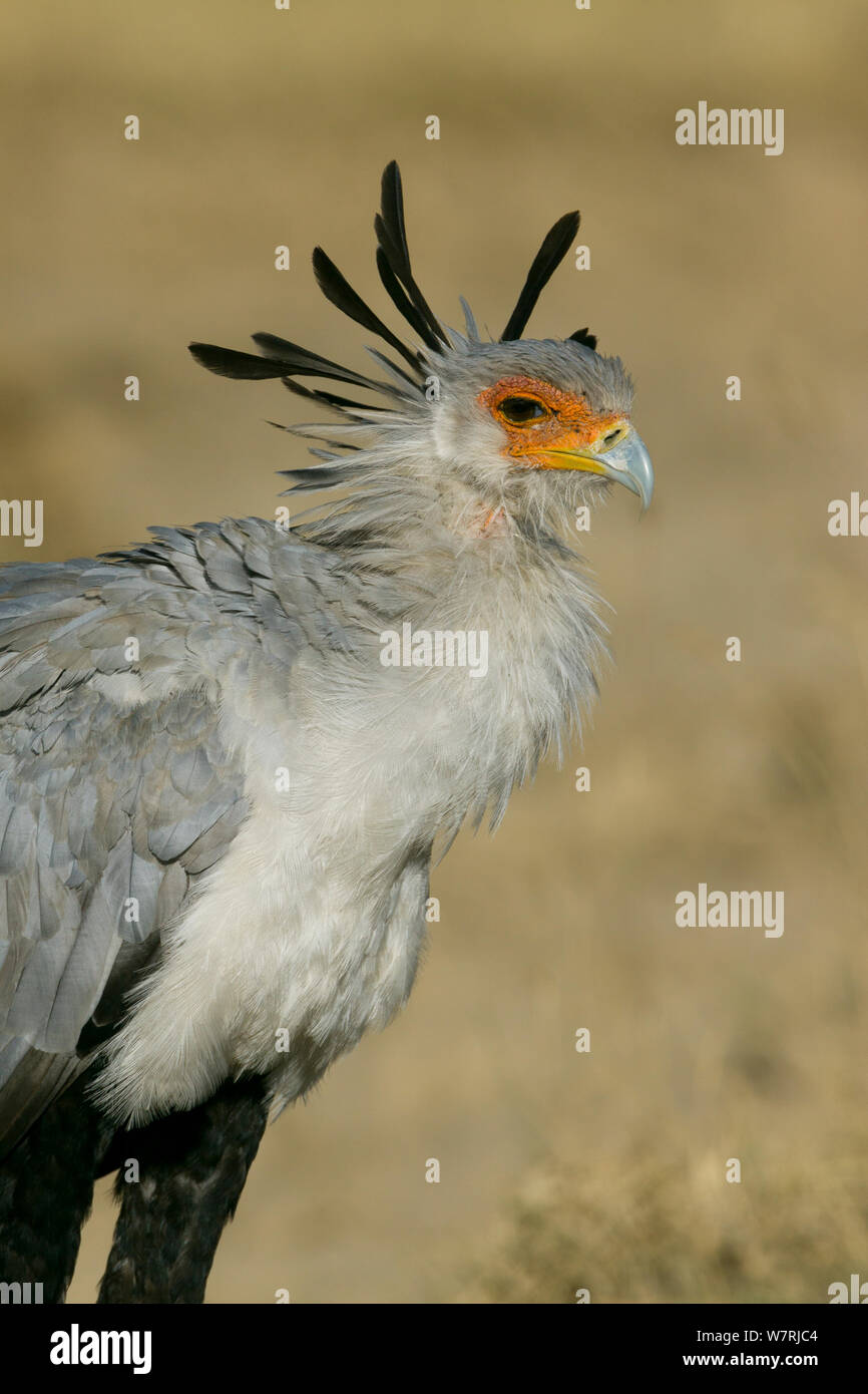 Secretary bird (Sagittarius serpentarius) portrait, Masai-Mara Game Reserve, Kenya Stock Photo