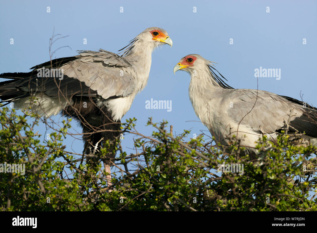 Secretary bird (Sagittarius serpentarius) couple in nest, Masai-Mara Game Reserve, Kenya Stock Photo