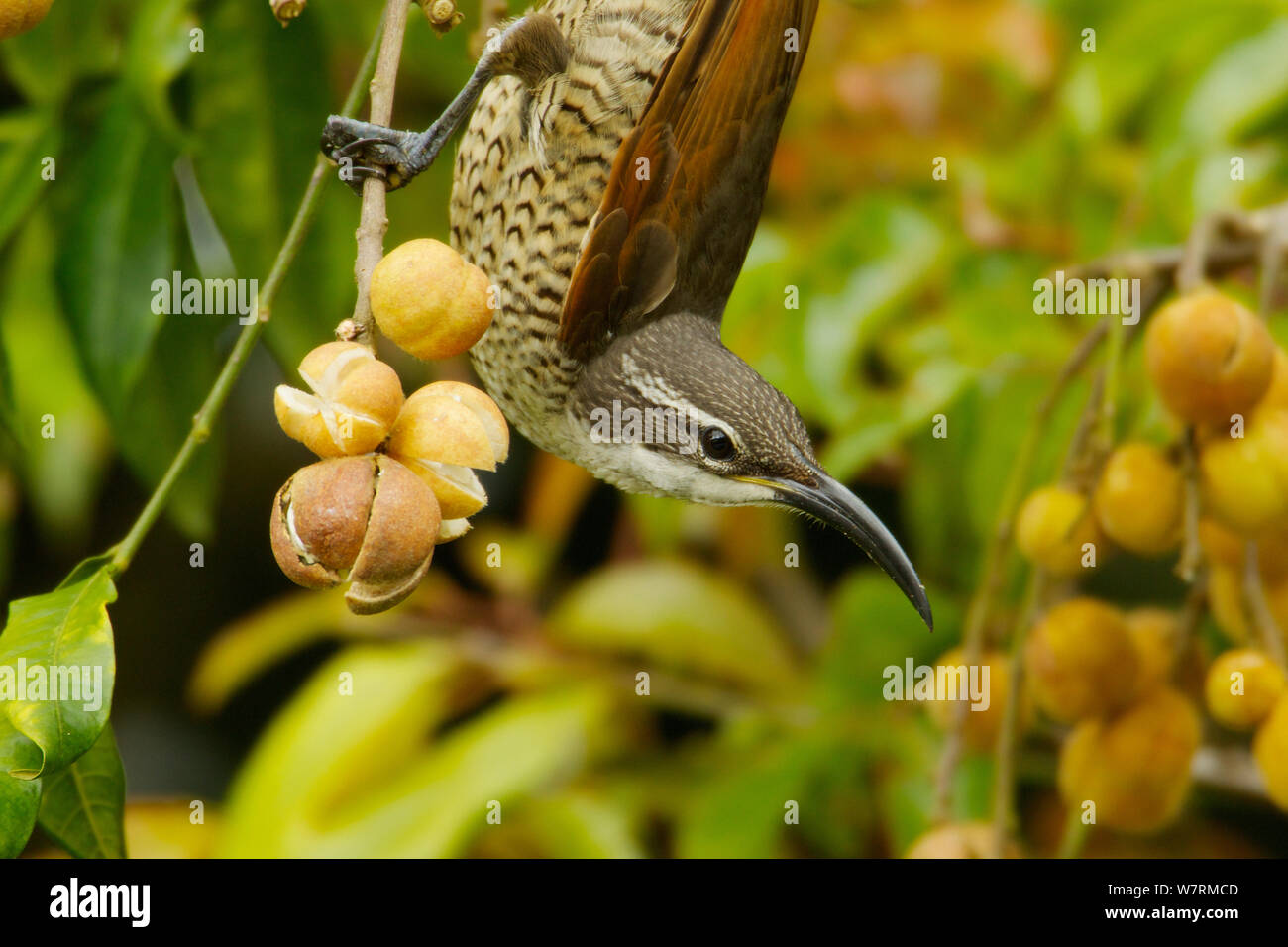 Riflebirds dating