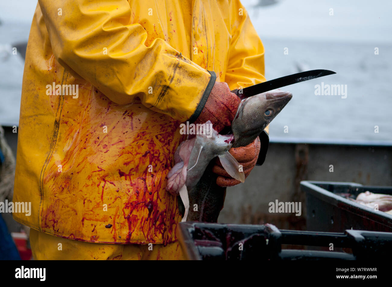 Fisherman cleans Atlantic Cod (Gadus morhua) on deck of fishing trawler. Stellwagen Banks, New England, United States, North Atlantic Ocean Model released. Stock Photo