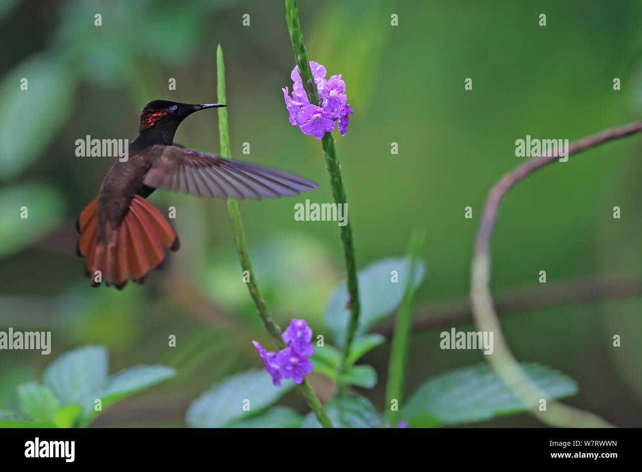 ruby topaz chrysolampis mosquitus in flight trinidad trinidad and tobago april W7RWWN