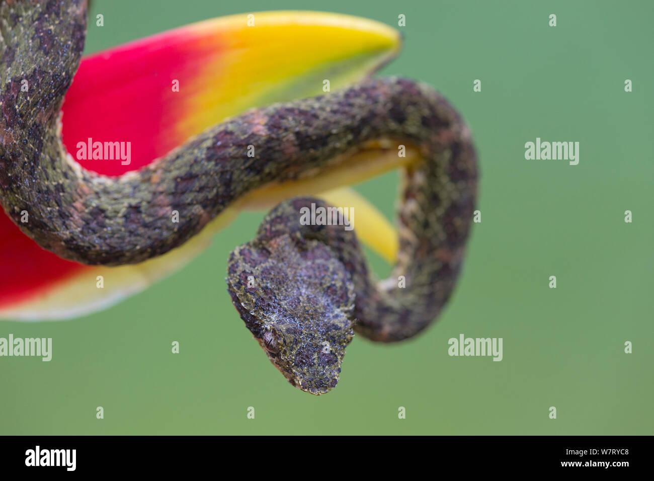 Eyelash Viper (Bothriechis schlegelii) on Heliconia (Heliconia rostrata) Costa Rica. Stock Photo