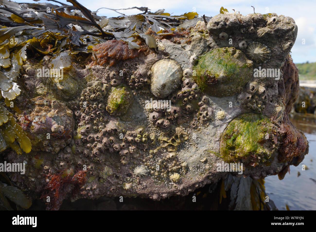 Common limpets (Patella vulgata) and Acorn barnacles (Balanus perforatus) attached to rocks exposed at low tide, Lyme Regis, Dorset, UK, April. Stock Photo