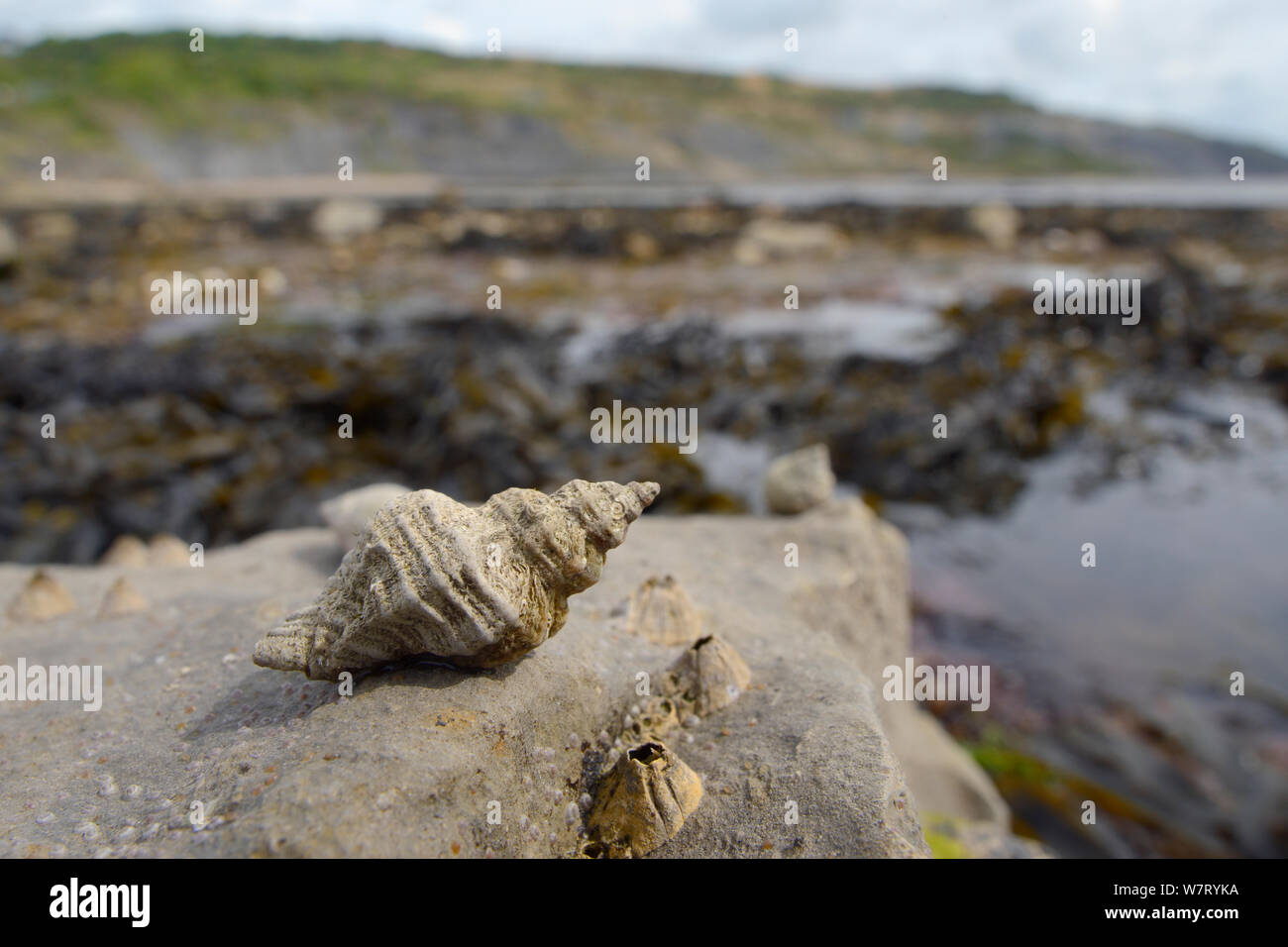 European oyster drill / Sting winkle (Ocenebra erinacea) a pest of oyster beds, on rocks low on the shore alongside Acorn barnacles (Balanus perforatus) exposed at low tide, with seaweed, rock pools and the sea in the background, Lyme Regis, Dorset, UK, May. Stock Photo