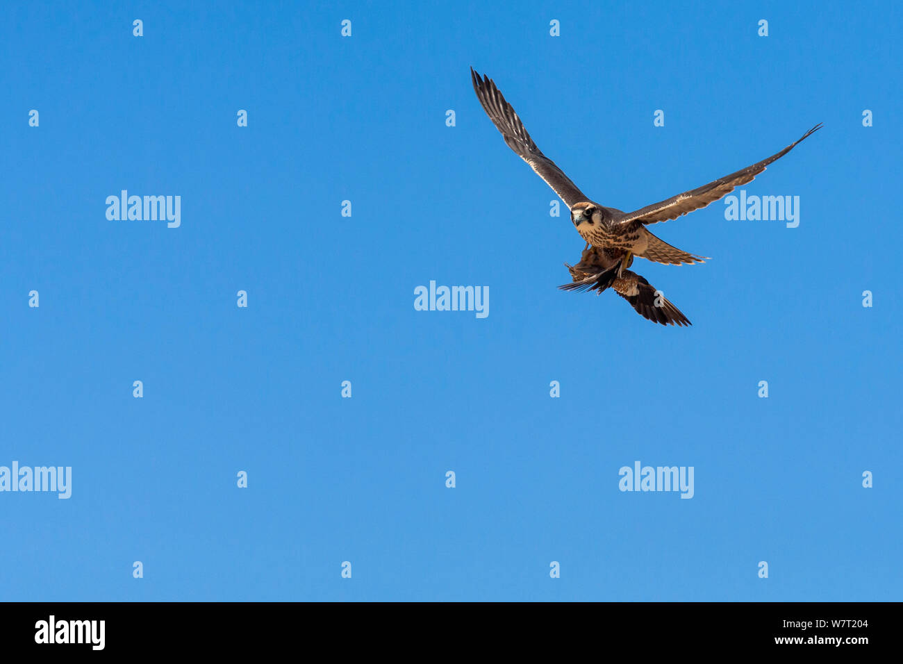 Lanner falcon (Falco biarmicus) in flight, carrying sandgrouse prey, Kgalagadi Transfrontier Park, South Africa, February. Stock Photo