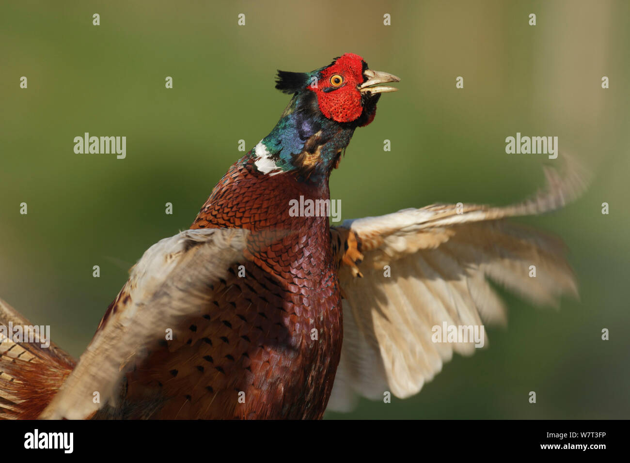 Pheasant (Phasianus colchicus) male displaying, Southwick, Hampshire, England, UK, April. Stock Photo