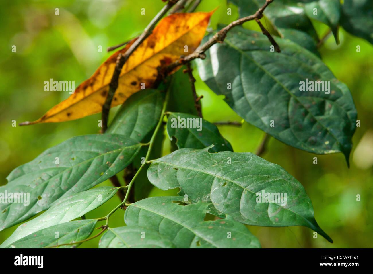 Babango (Diospyros bipindensis or Diospyros iturensis) tree  leaves, food plant for many primates including Gorillas and Chimpanzees, Bai Hokou, Dzanga-Ndoki National Park, Central African Republic. Stock Photo