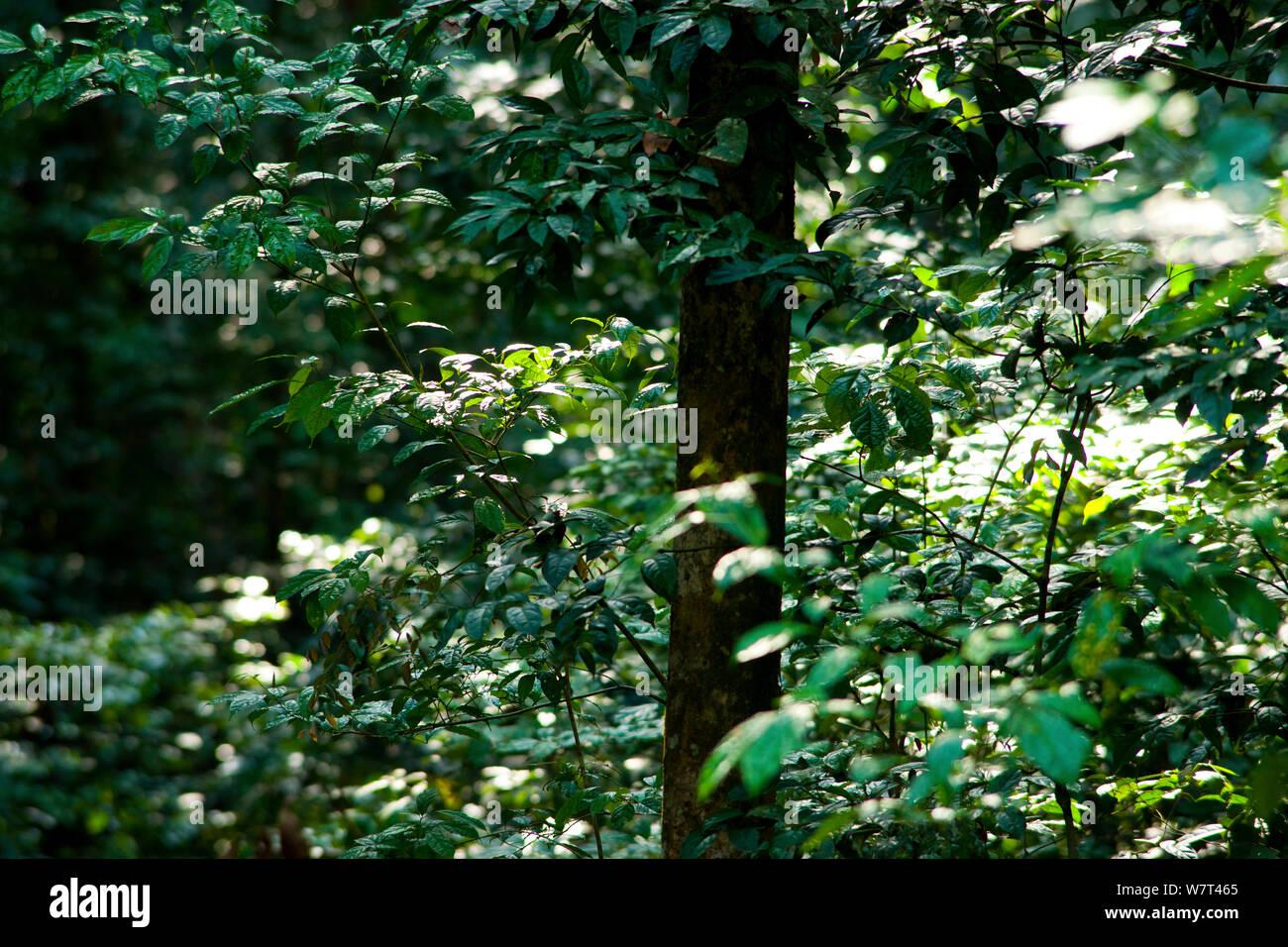 Babango (Diospyros bipindensis or Diospyros iturensis) tree. Food plant for many primates including Gorillas and Chimpanzees, Bai Hokou, Dzanga-Ndoki National Park, Central African Republic. Stock Photo