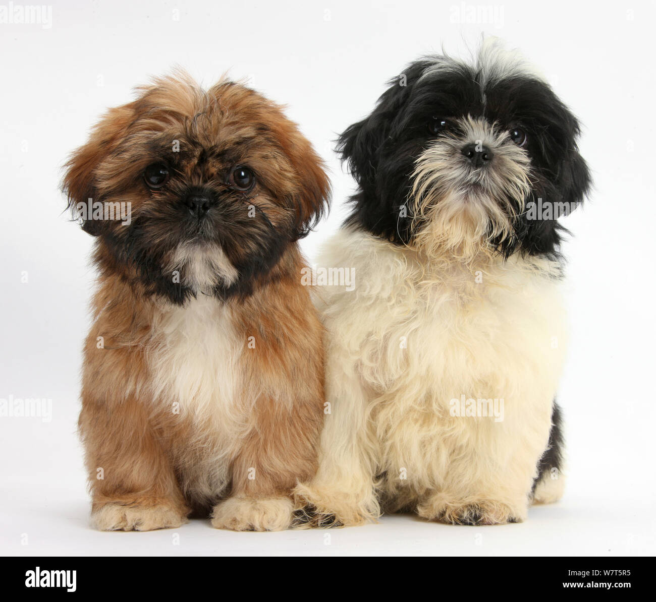 Brown And Black And White Shih Tzu Puppies Stock Photo Alamy
