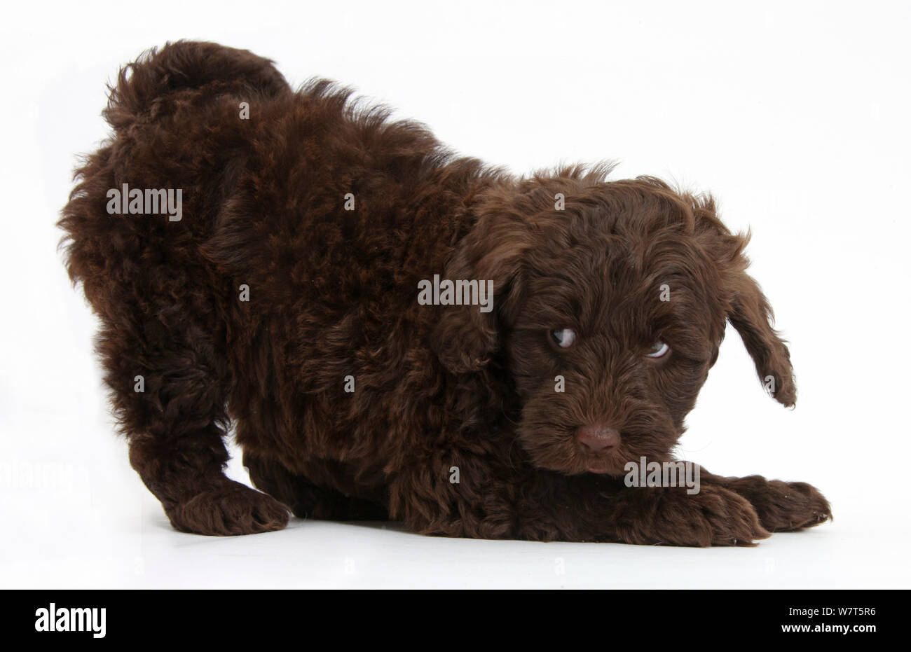 Cute Chocolate Toy Goldendoodle Puppy In Play Bow Stock Photo Alamy