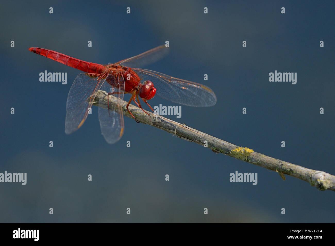 Male Scarlet dragonfly (Crocothemis erythraea) resting on a twig, Marais breton, Brittany / Bretagne, France, July. Stock Photo