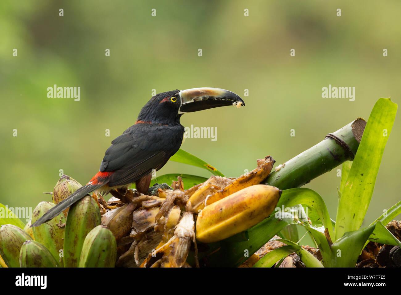 Collared Aracari (Pteroglossus torquatus) feeding on wild banana (Musa), Costa Rica Stock Photo