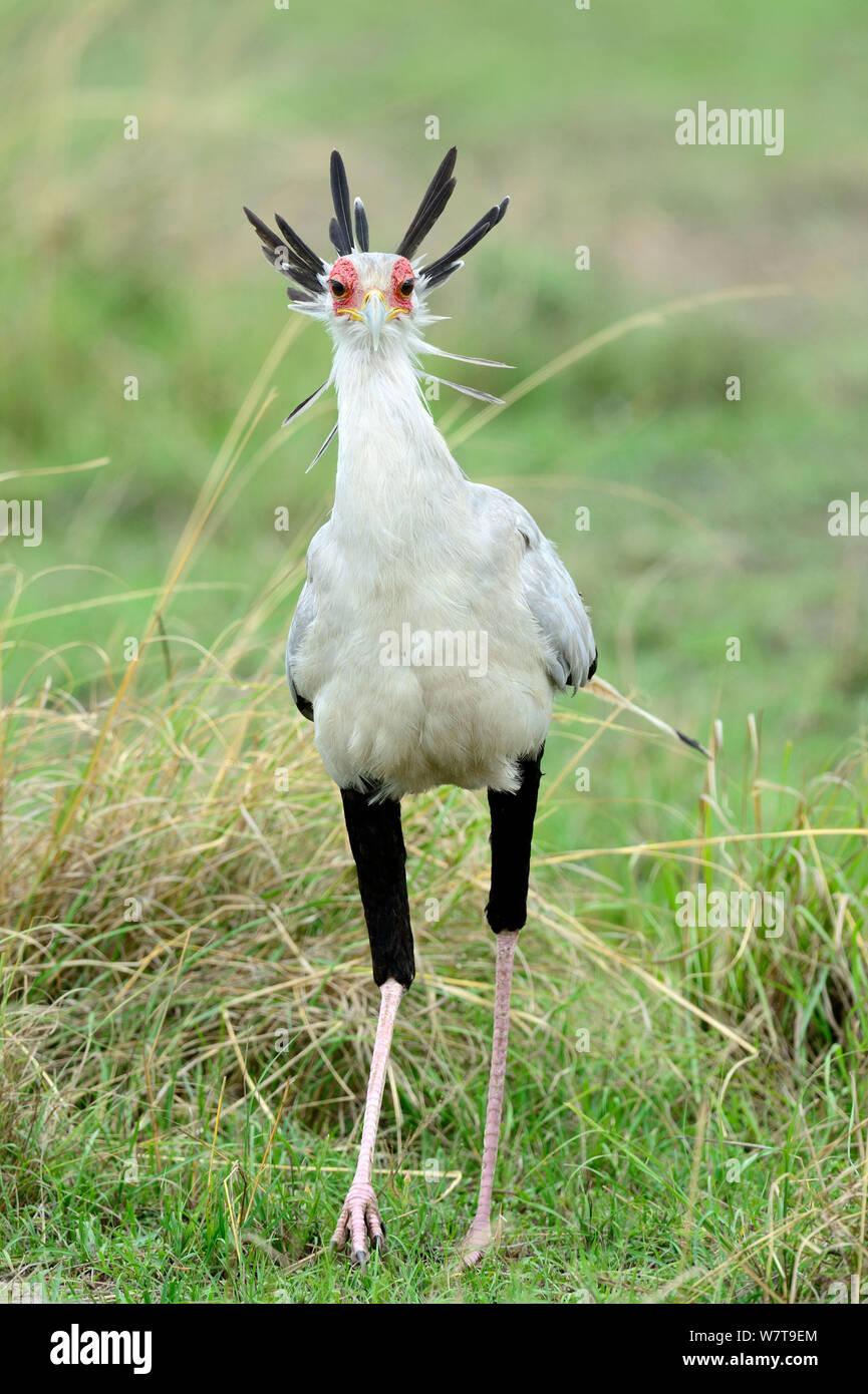 Secretary bird (Sagittarius serpentarius) portrait, Masai Mara National Reserve, Kenya, Africa. Stock Photo