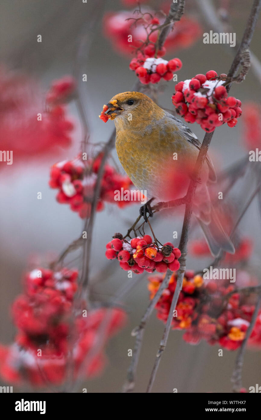 Pine Grosbeak (Pinicola enucleator) eating rowan berries, central Finland, October. Stock Photo