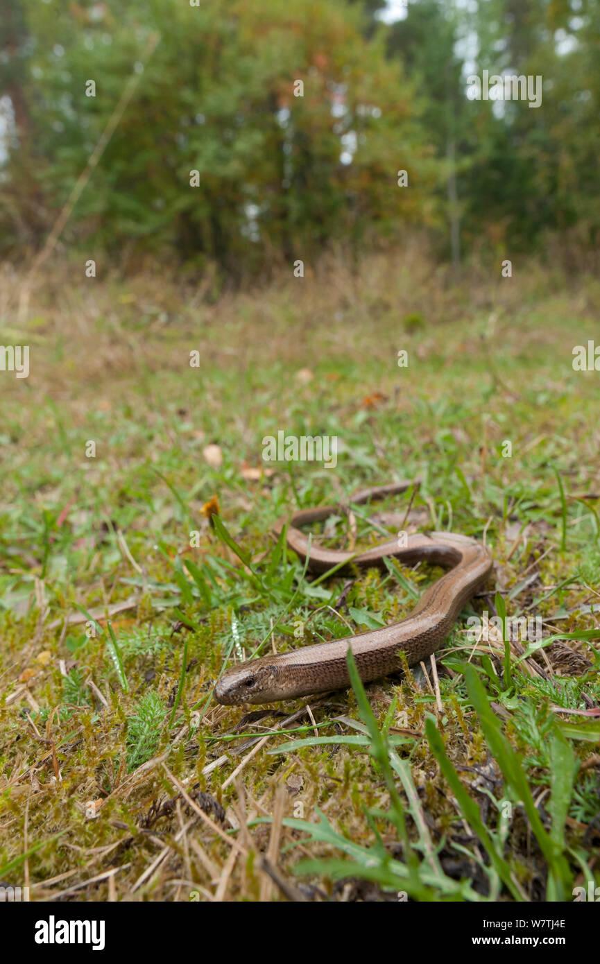 Slow worm (Anguis fragilis) in habitat, South Karelia, southern Finland, September. Stock Photo