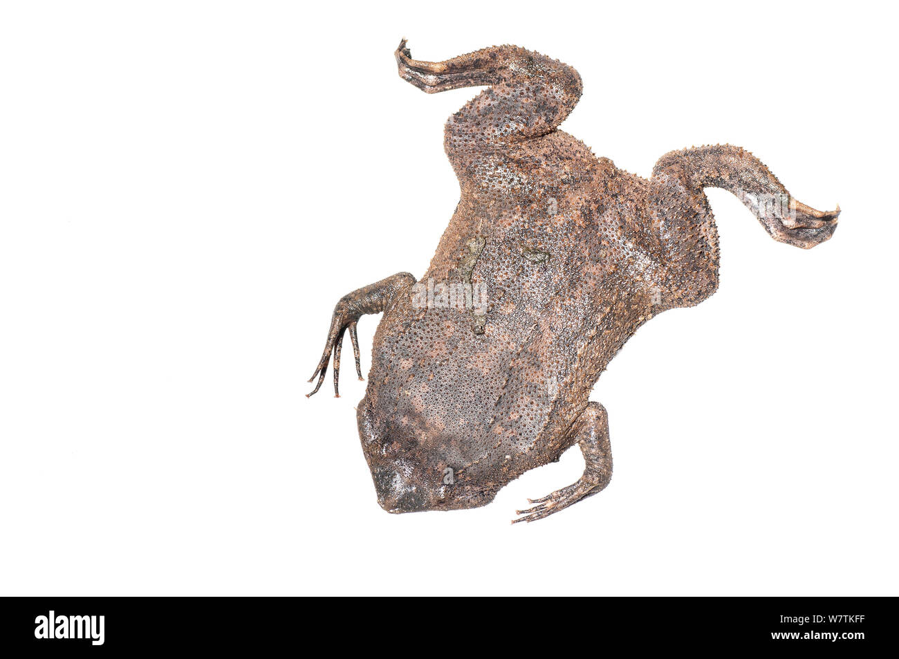 Pipa Pipa Toad Stock Photos & Pipa Pipa Toad Stock Images
