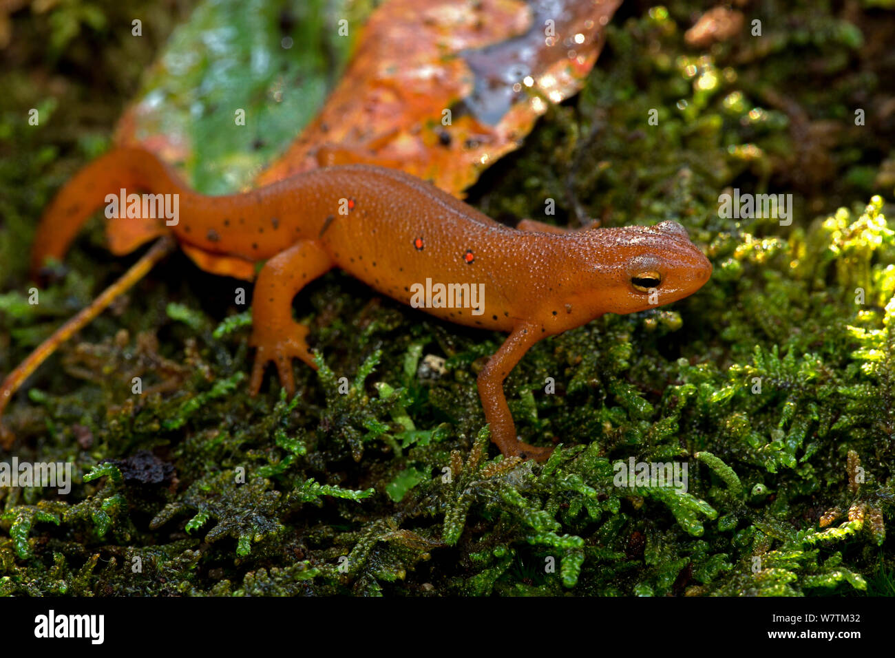 Red-spotted newt (Notophthalmus viridescens) red eft or terrestrial phase, New York, USA, July. Stock Photo