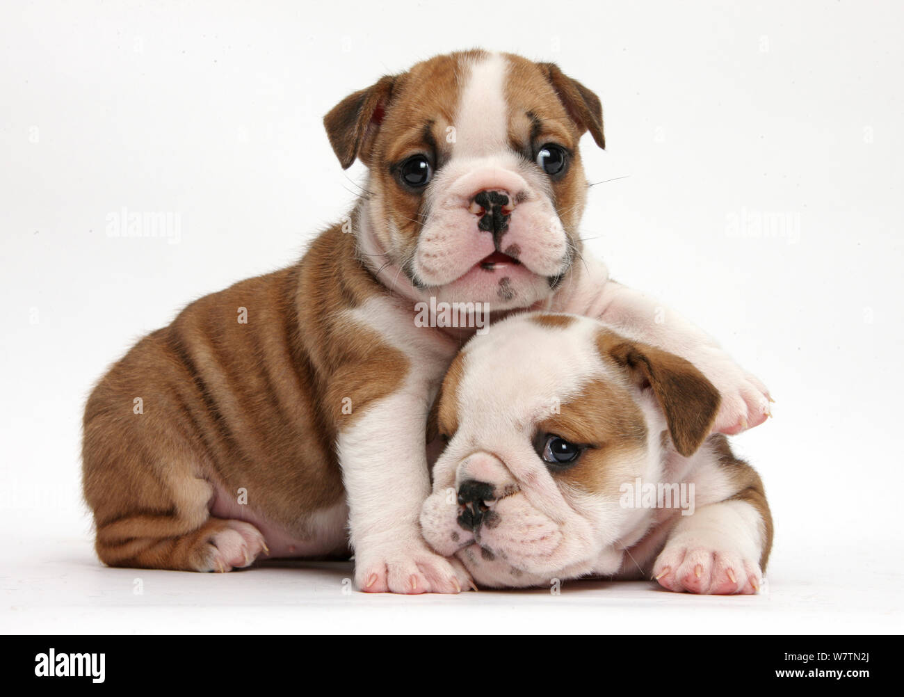 Two Cute Bulldog Pups 5 Weeks Against White Background Stock Photo Alamy