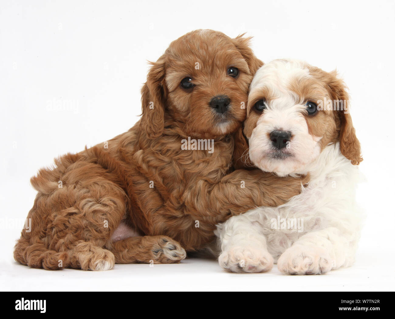 Cute Red And Red And White Cavapoo Puppies 5 Weeks Hugging Against White Background Stock Photo Alamy