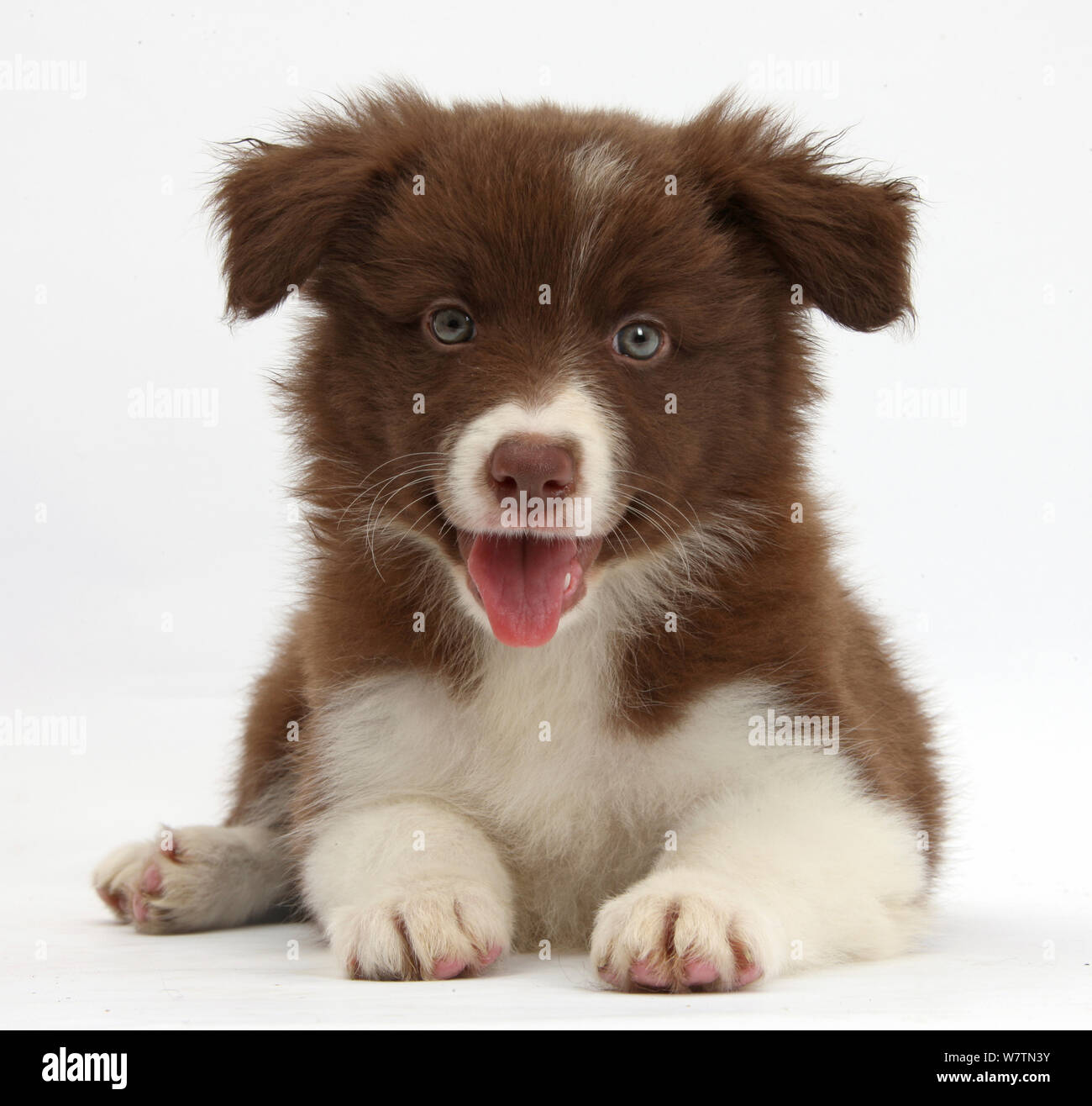 Happy Chocolate Border Collie Pup Sitting Against White Background Stock Photo Alamy