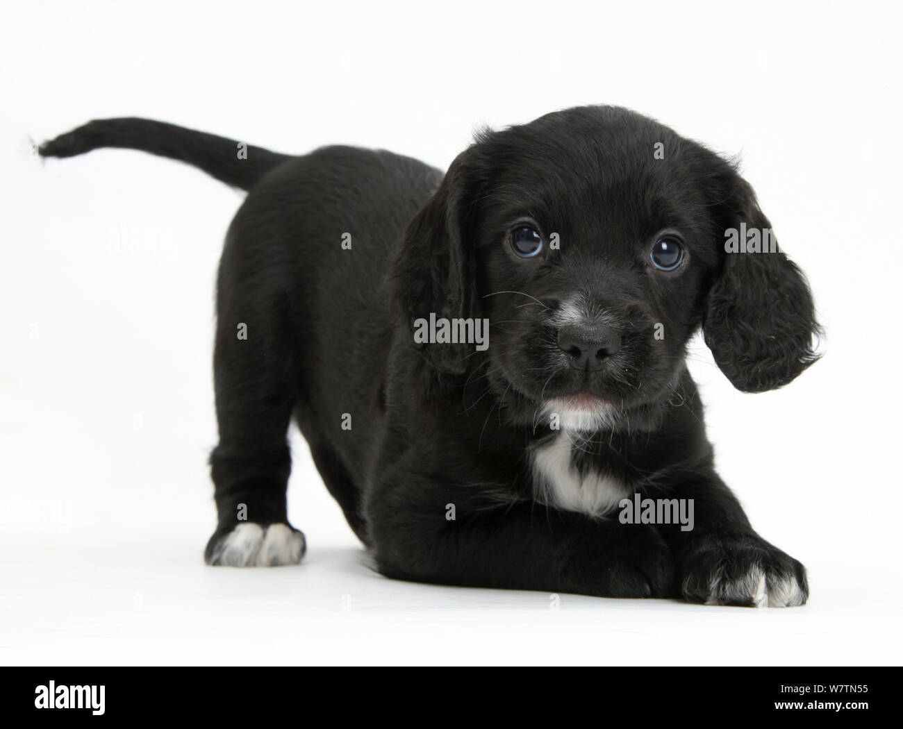 Black Cocker Spaniel Puppy In Play Bow Against White Background Stock Photo Alamy