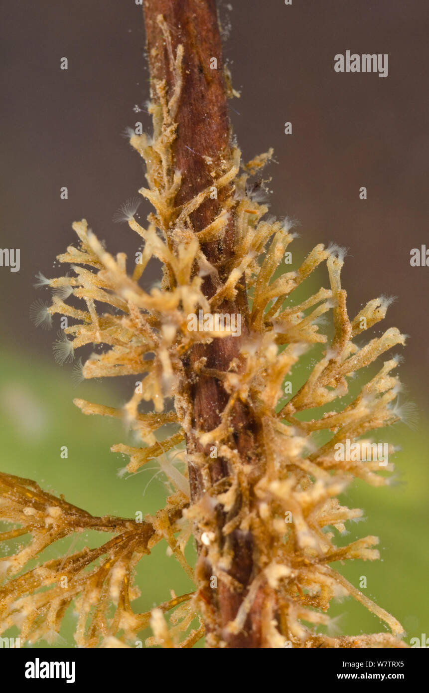 Freshwater Bryozoan (Plumatella fruticosa) colony of zooids attached to a root, Europe, August, controlled conditions Stock Photo