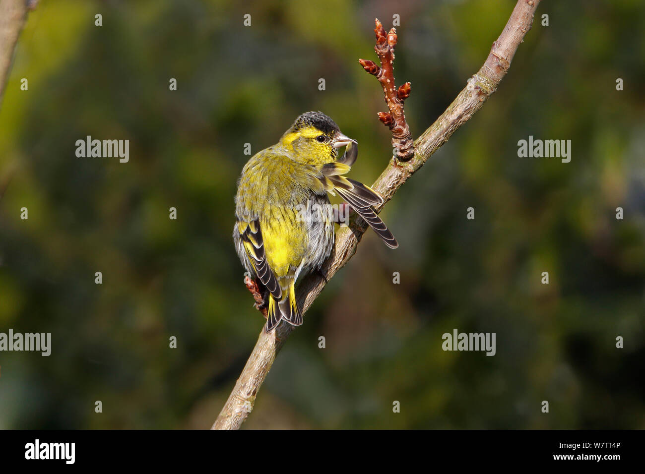 Siskin (Carduelis spinus) male preening perched in tree in garden, Cheshire, UK, March. Stock Photo