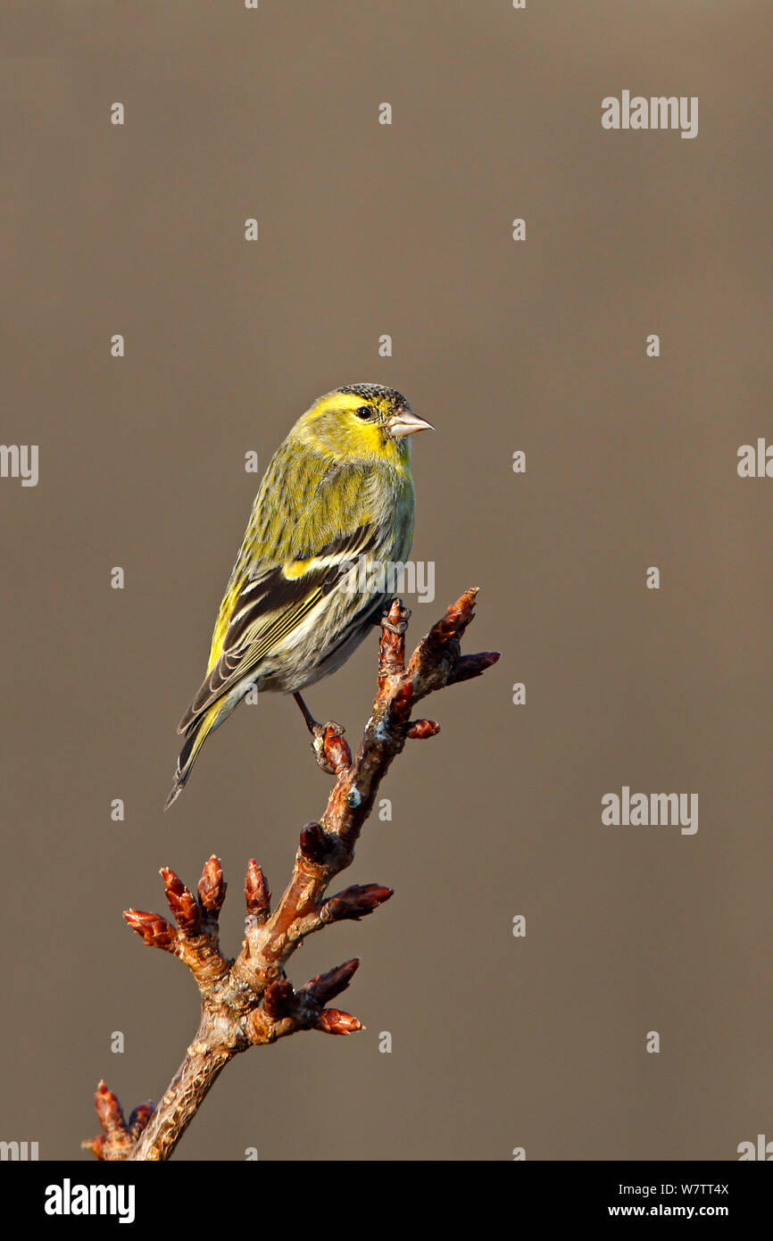 Siskin (Carduelis spinus) male perched at top of tree in garden, Cheshire, UK, April. Stock Photo