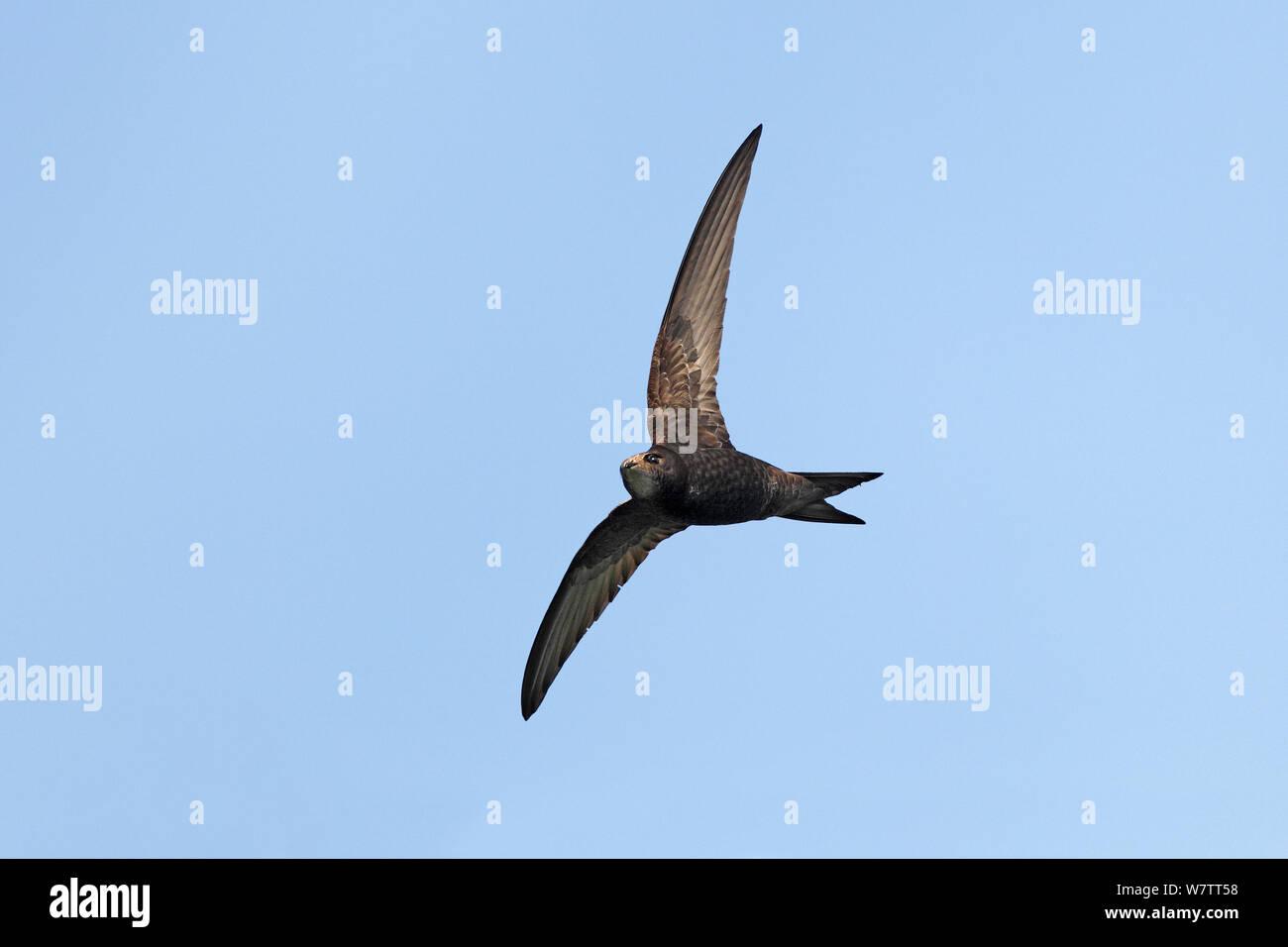 Common Swift (Apus apus) in flight, Wirral, Merseyside, UK, July. Stock Photo