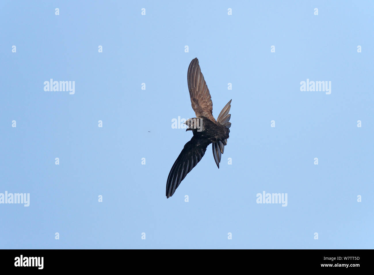 Common Swift (Apus apus) catching insect in flight, Wirral, Merseyside, UK, July. Stock Photo