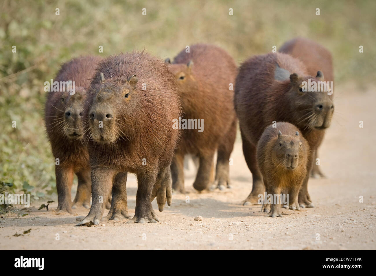 Capybara (Hydrochaeris hydrochaeris) group with young on the Transpantaneira road, Mato Grosso, Brazil Stock Photo