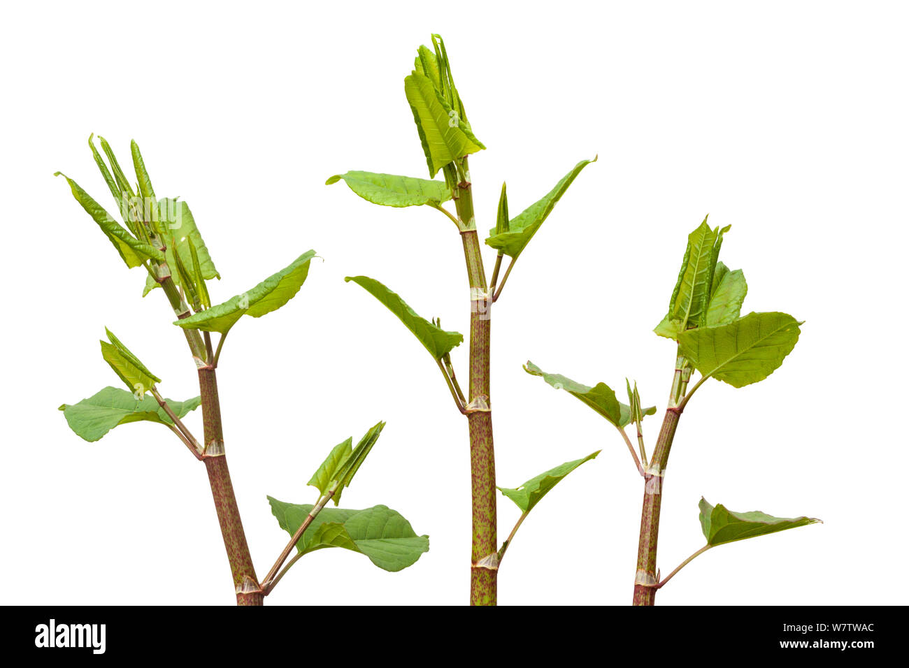 Japanese Knotweed (Fallopia japonica) plant against white background, UK. Invasive species. Stock Photo