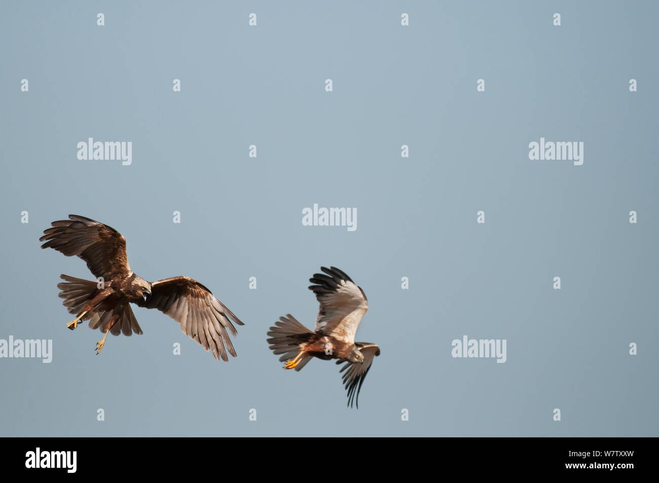 Marsh Harrier (Circus aeruginosus) male and female(left)  in flight, Texel, the Netherlands, April. Stock Photo