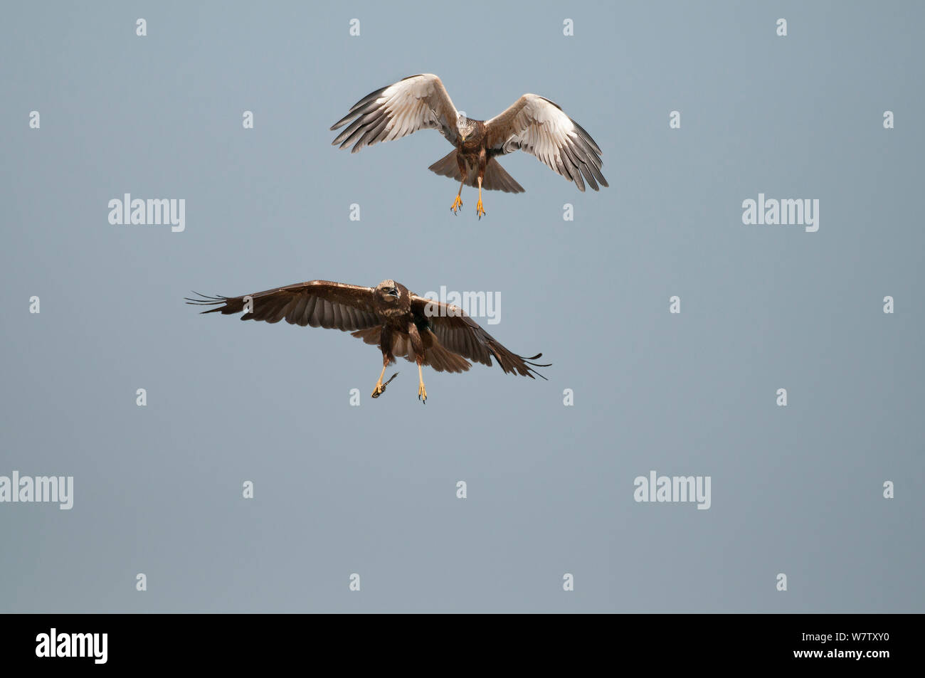 Marsh Harrier (Circus aeruginosus), male and female in flight, Texel, the Netherlands, April. Stock Photo