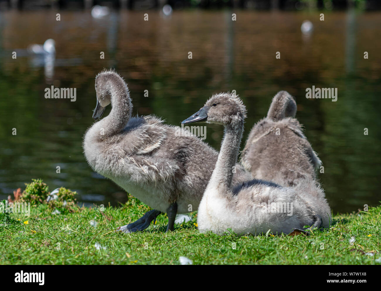 three cute baby swan, bird portrait Stock Photo