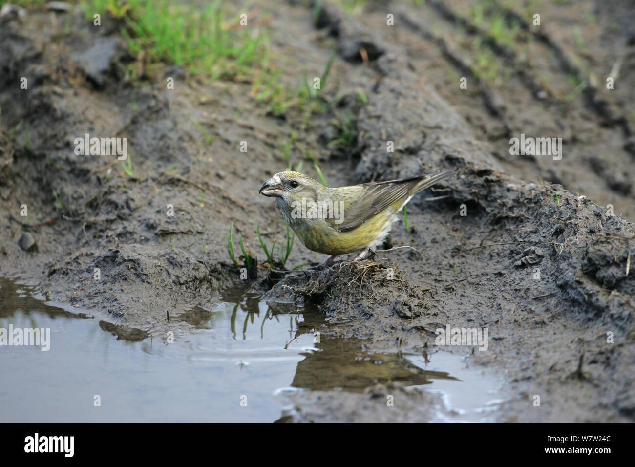 Common crossbill (Loxia curvirostra) female drinking from muddy puddle. Glen Feshie Highland Region, Scotland, UK, May. Stock Photo