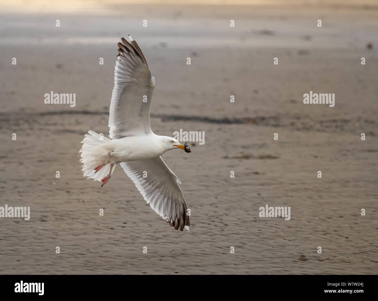 sea gull on island norderney, travel germany Stock Photo